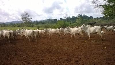 Fazenda A Venda Em Redenção - Pa, ( Dupla Aptidão ) - 484