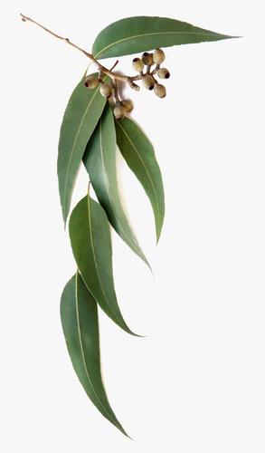 Imagem 1 de 10 de 200 Sementes Eucalipto Azul Eucalyptus Globulus