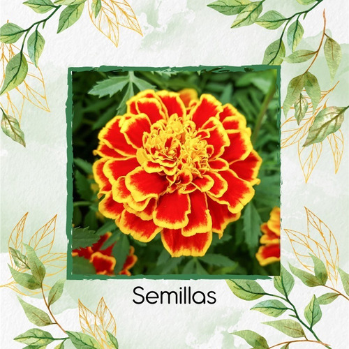 160 Semillas Flor Tagetes Patula Rusty Roj + Obs Germinación