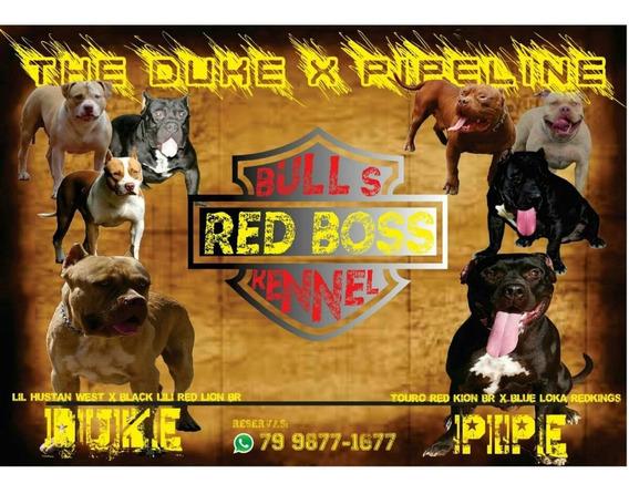 Filhotes De American Pit Bull Terrier Xxl
