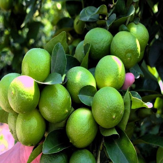 Finca De Limones En Producción Monte Plata