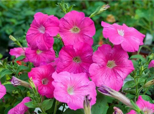 100 Semillas Flor Petunia Rosa + Obsequio Germinación