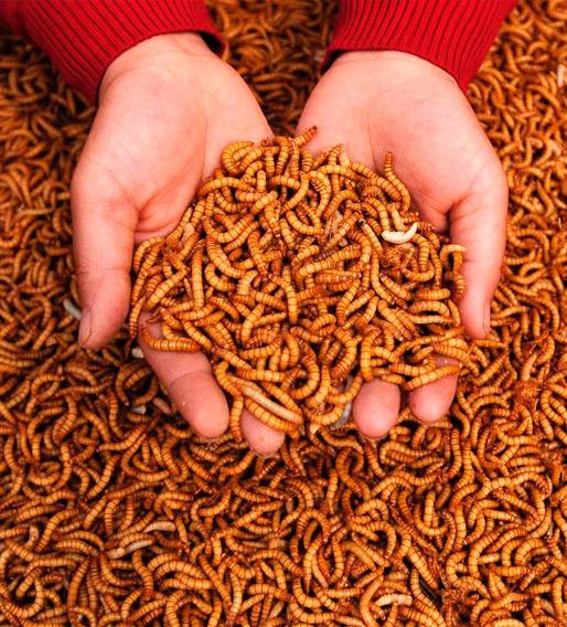1100 Larvas Tenébrios Molitor + Pote De Cálcio Brinde