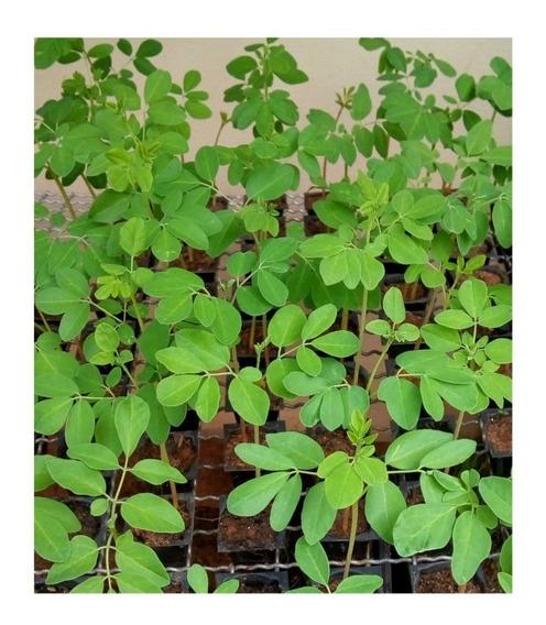 2 Mudas Moringa Oleifera 15 A 25 Cm + 5 Sementes Brinde