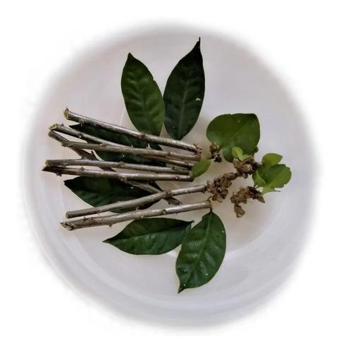 Ora Pro Nobis - (pereskia Aculeata) 12 Estacas+brinde