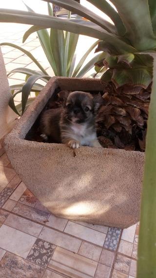 Chihuahua Pelo Longa Com Pedigree