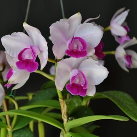 Cattleya Marginata