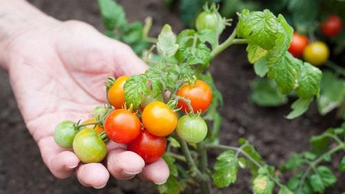 Imagen 1 de 3 de Semillas Tomate Cherry Beltrame Paquete 1g Huerto Jardines