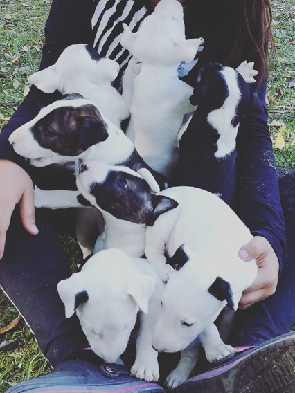 Cachorro Bulls Terrier