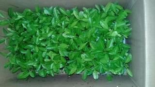 Plantulas Citrico Macrophylla