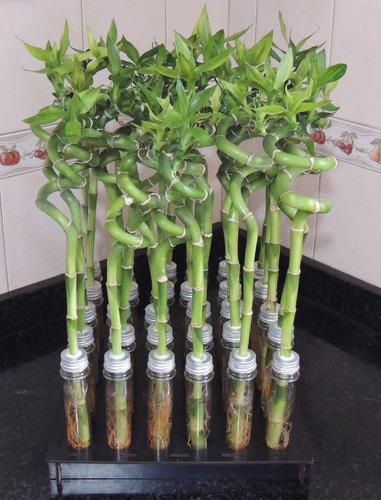 Imagen 1 de 9 de Lucky Bamboo Bambu De La Suerte Espiral 50 Cm Solo Vara
