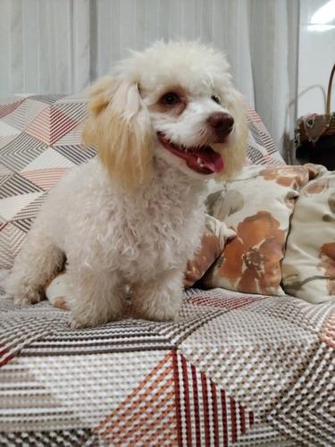 Poodle Toy Olhos Verdes, Fêmea