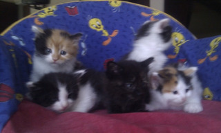 Gatitos Siberianos Para Su Adopción