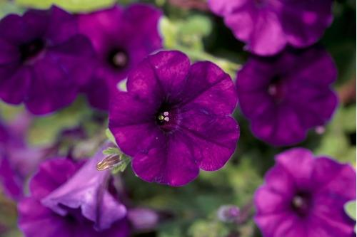 50 Semillas Flor Petunia Azul Violeta  + Obseq Germinación
