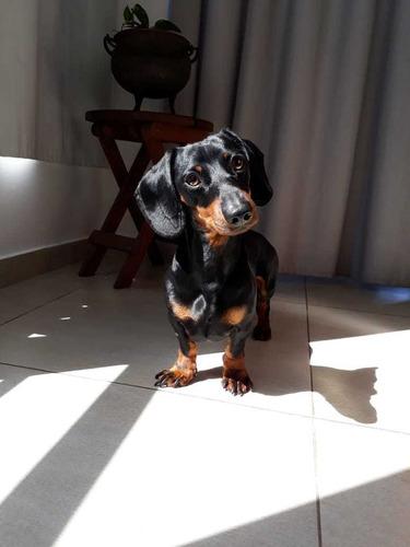 Perro Mini Salchicha   Busco Novia