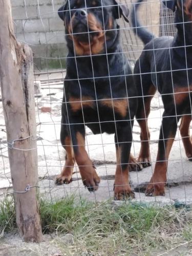 Cachorros De Rottweiler Con Pedigree Kcu