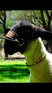 Collar De Identificacion Para Borregos ,cabras Perros