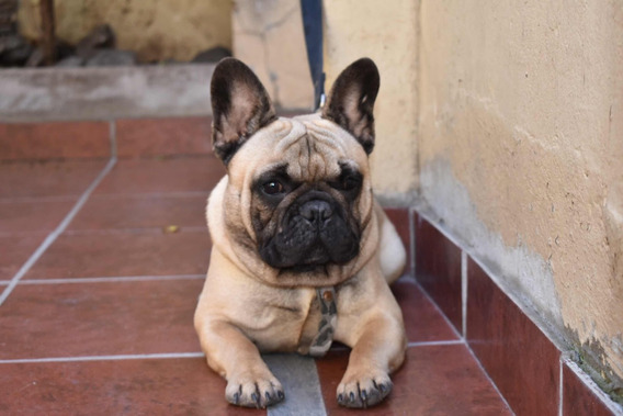 Bulldog Francés Macho Fawn Adulto Servicio Stud Monta Fca