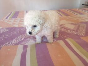 Tenho Filhote Poodle Mini Toy Esta Com 60 Dias Super Pequen