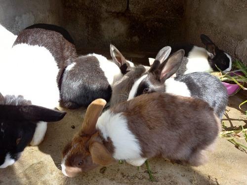 Conejos Holandes Ideal Para Reproducir O Para Mascotas