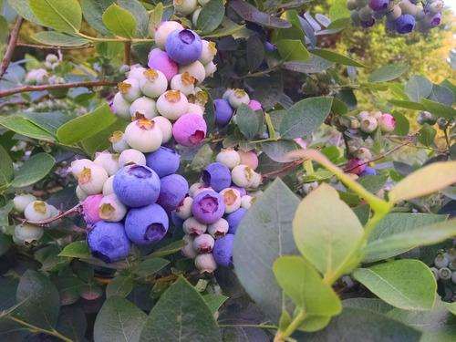 Imagen 1 de 10 de Plantas De Frutos - Arandano , Zarzamora , Grosella