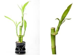 Tallos De Lucky Bambu