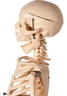 Esqueleto Humano Para Estudo Anatomia 45cm
