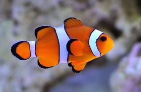 Palhaço Ocelaris - -peixe Marinho - -