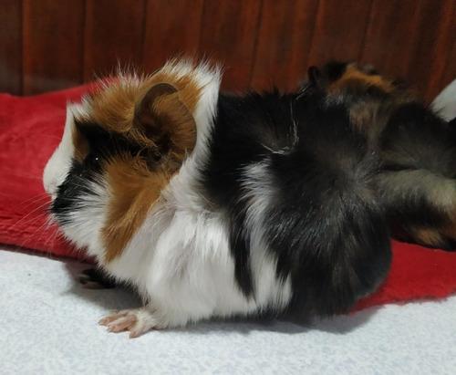 Imagen 1 de 9 de Cuis Cuises Cobayos Abisinio C/ Remolinos Mascotas Conejillo