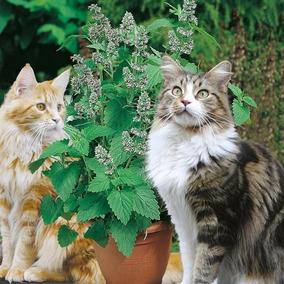 Sementes De Erva Dos Gatos A Verdadeira Catnip 100% Pura