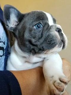 Bulldog Frances Gen Blue Nueva Camada. Regala Amor!!!