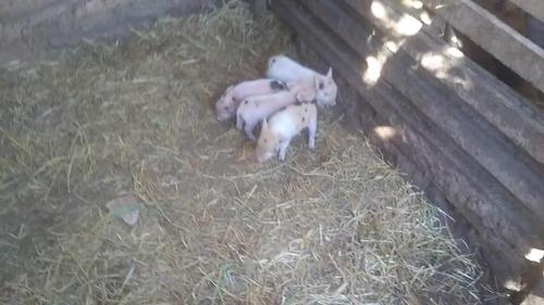 Mini Pig Micro Porco