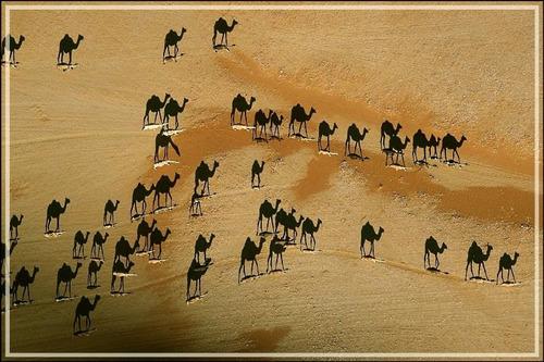 Poster 60x90cm Foto Gravura Sombras Dos Camelos No Deserto