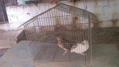 Criadero De Codorniz Y Huevos Fertil En Cagua