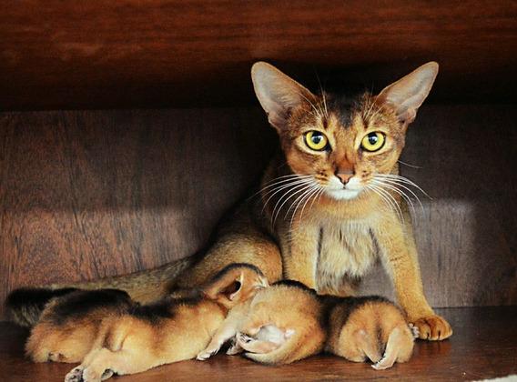 Filhote De Gato Abissinio