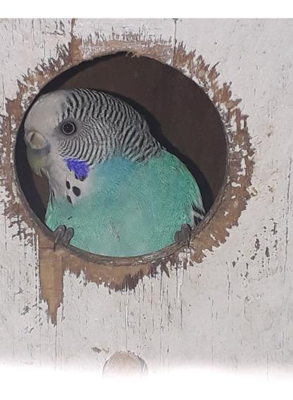 Aves De Amor Australianas ¡periquitos!