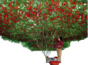 50 Sementes Tomate De Árvore Italiano Gigante Frete Grátis!!