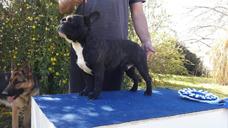 Bulldog Francés En Servicio De Stud