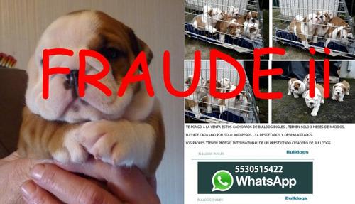 Imagen 1 de 1 de Bulldog Ingles Regalo Cachorros Fraude Ojo
