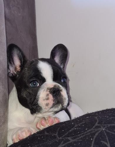 Imagem 1 de 2 de Bulldog Francês