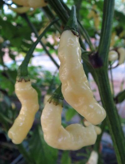 10 Sementes Pimenta Caterpillar Branca Rara + Frete Gratis