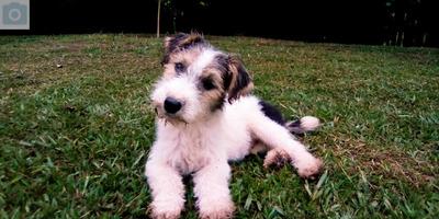 Promocion Mascotas Cachorros Fox Terrier Pelo Alambre
