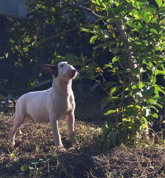 Filhotes De Bull Terrier (pedigree Cbkc)