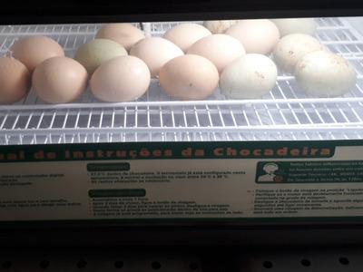 Ovos Indio Gigante Argentino
