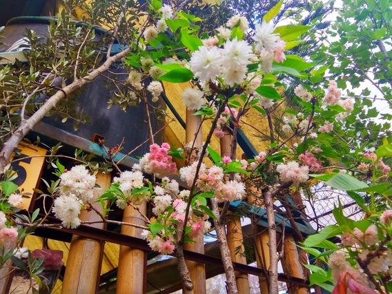 Cerezo Japonés Prunus Serrulata Kanzan De Flores Grandes