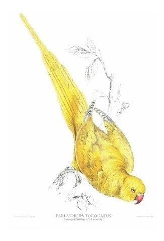 Gravura De Pássaro - Palaeornis Torquatus