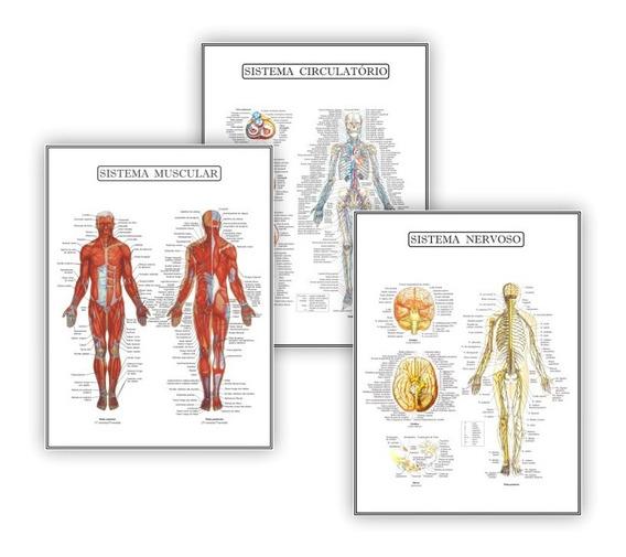 Kit 3 Posteres Anatomia Med Fisioterapia Fisiologia 45x60 Cm