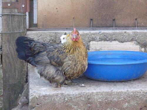 Huevos Fértiles De Gallina Enana, Brahama Enana