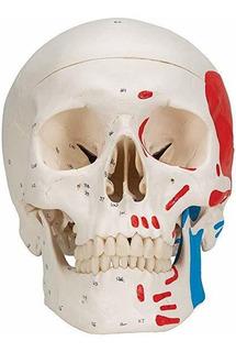 3b Scientific Classic Skull, Painted, 3-part