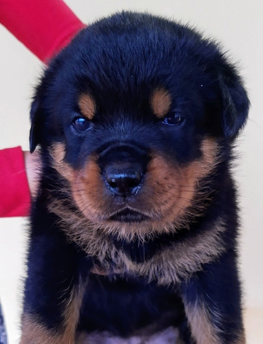 Filhote De Rottweiler De Alto Padrão Com Pedigree Cbkc
